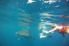 Zwemmen met walvishaaien
