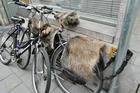 De fiets bekleed met schapenvacht .