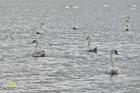 Het  Zwanenmeer .