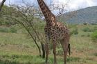 Giraffe in Tsavo